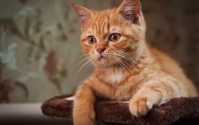 Рыжий усатый кот