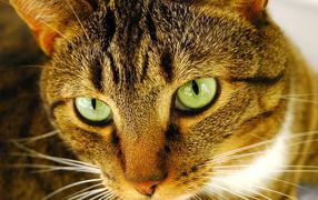 Внимательный взгляд рыжего кота