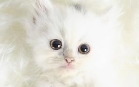Белый котенок с черными глазами
