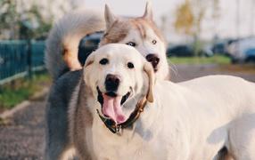 Собаки - фото обои на рабочий стол, картинки с собаками ... Милый Щенок Хаски