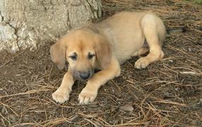 Щенок собаки чинук