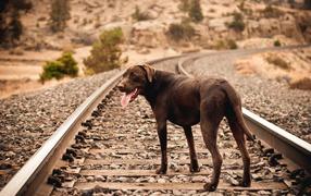 Собака на железной дороге ждет хозяина