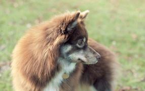 Собака с жетоном
