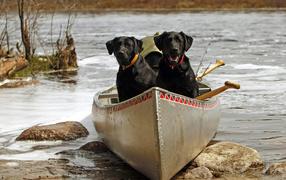 Черные собаки в лодке