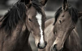 Два роскошных коня