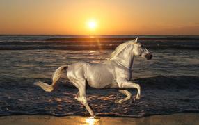 Белая лошадь скачет по пляжу