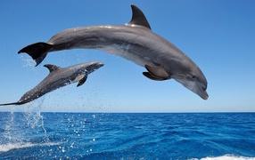 Common bottlenose dolphins