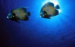 Французские рыбы-ангелы
