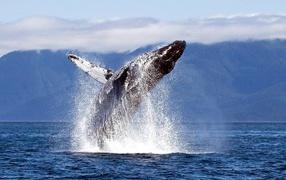 Прыжок кита из воды