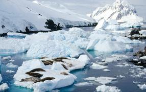 Тюлени лежат на льдине