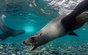 Тюлени под водой