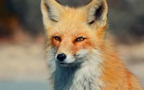 Хитрый взгляд лисы