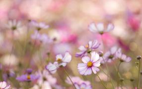 Красивые цветы космея на клумбе в саду