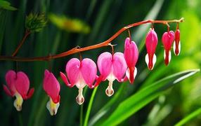 Красивые цветы дицентра в саду