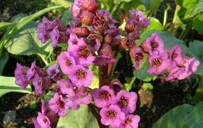 Красивые цветы растения бадан в парке