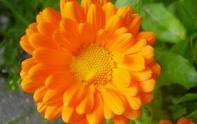 Красивые цветы календула на клумбе в саду