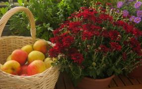 Красивые цветы хризантема и яблоки
