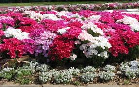 Beautiful flowers on the glade Clark (godetsiya)