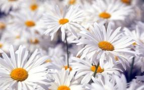 Красивые белые цветы