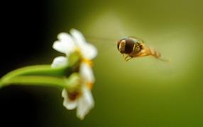 Пчела на белом цветке