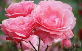 Распустившиеся розовые цветы