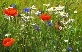 Семейка полевых цветов