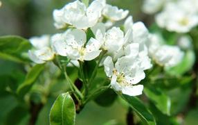 Цветки фруктового дерева