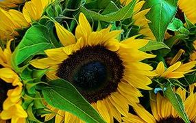 Цветы молодого подсолнуха