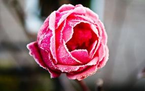 Замерзшая роза