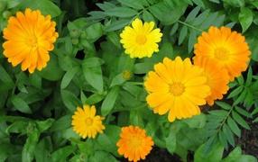 Garden flowers calendula on the dacha