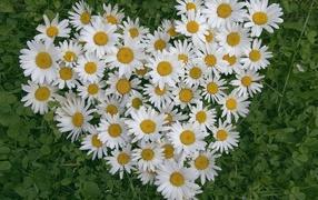 Heart of flowers white daisy