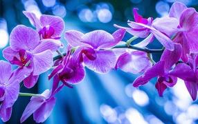 Фиолетовые цветы орхидеи