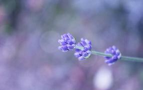 Сиреневый полевой цветок