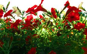 Красные цветы на зеленой траве