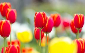 Красные с желтым тюльпаны
