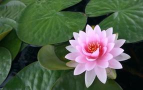 Водяная розовая лилия