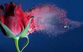A bullet passes through rose