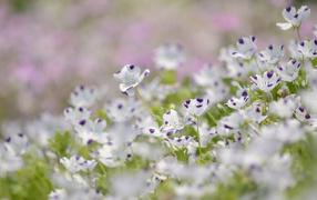 Сине белые цветки льна