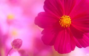 Бутон и цветок космеи