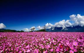 Поле цветов космеи