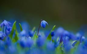 Цветы синие пролески