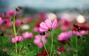 Розовые лепестки космеи