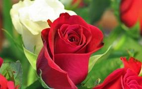 Красная и белая роза