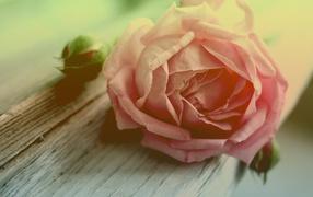 Роза и бутоны на доске