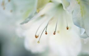 Тычинки и пестик цветка