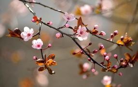Ветка вишневого дерева