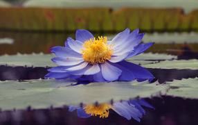 Водяная лилия на пруду