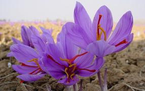 Цветы шафран