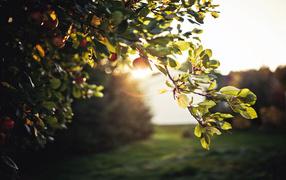 Green branch of Apple