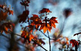 Ветка с красными листьями